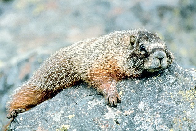640px_Marmot_in_Grand_Teton_NP_NPS.jpg