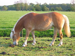 256px_Haflinger_horse_on_pasture_in_the_NetherlandsAAA.jpg