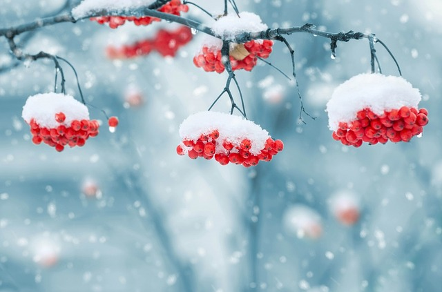 snow_on_berries_1379880_640.jpg